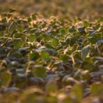 soybean health